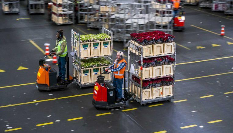 Reisbeperkingen maken de handel naar Engeland spannend voor de Nederlandse tuinbouw.  Beeld ANP