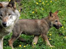 Wolf is een aanwinst voor Brabant