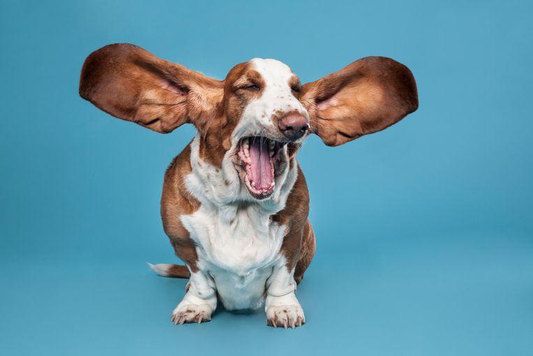 Het is belangrijk om de oren van je hond regelmatig schoon te maken, maar hoe doe je dat? Beeld Getty Images/iStockphoto
