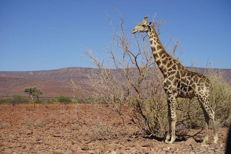 In Etosha National Park sta je oog in oog met zebra's, olifanten en giraffen. Beeld Govert Schilling
