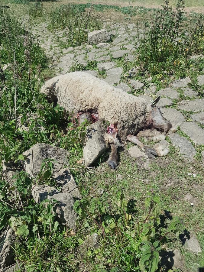 In Wijk en Aalburg werden in het pinksterweekend vier schapen doodgebeten.