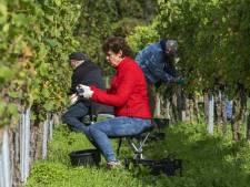 Sterke groei aantal druiventelers in Oost-Nederland
