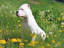 Argentijnse dog bijt man die hondje uitlaat in Helmond