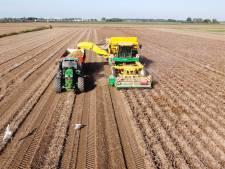 Loonwerkers oogsten zij aan zij duizenden piepers en de meeuwen profiteren mee
