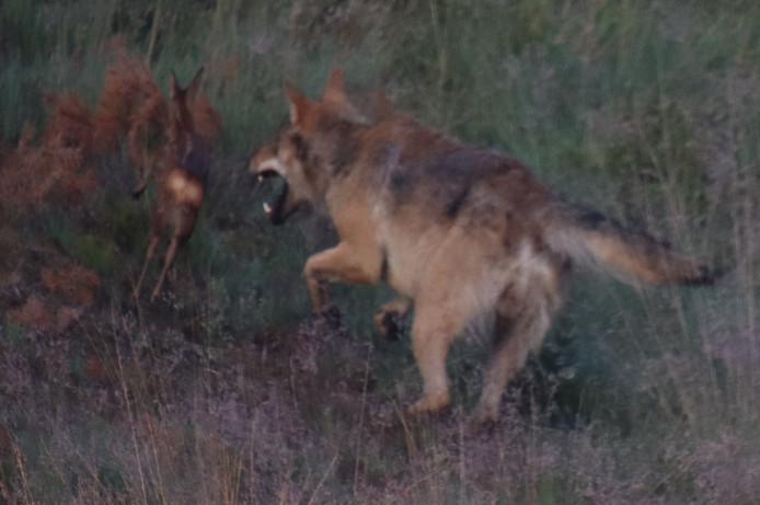 De jagende wolf op de Veluwe.