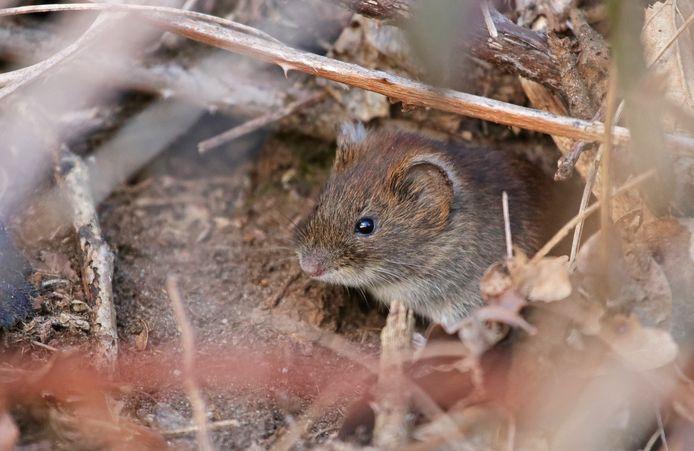 Een rosse woelmuis rust even uit voor zijn holletje.