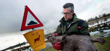 En dat is tien, boswachter vindt weer een dode bever langs de Werkendamse Bandijk