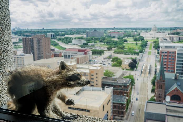 De wasbeer klom naar de 23e verdieping van het kantoorpand.