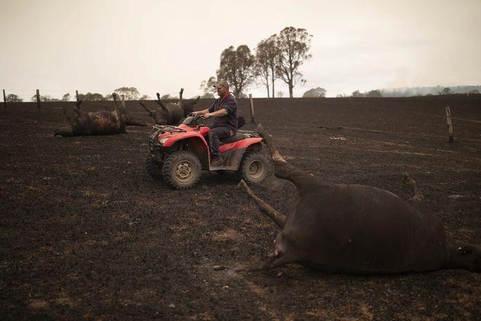 Een boer op zijn verbrande veld in Coolagolite, New South Wales. De man maakt zelf de dieren af die te zwaar gewond zijn geraakt door het vuur.