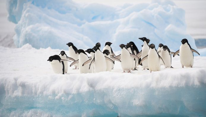 Door het aanwassende ijs krijgen pinguïns het steeds moeilijker om vissen te vangen.