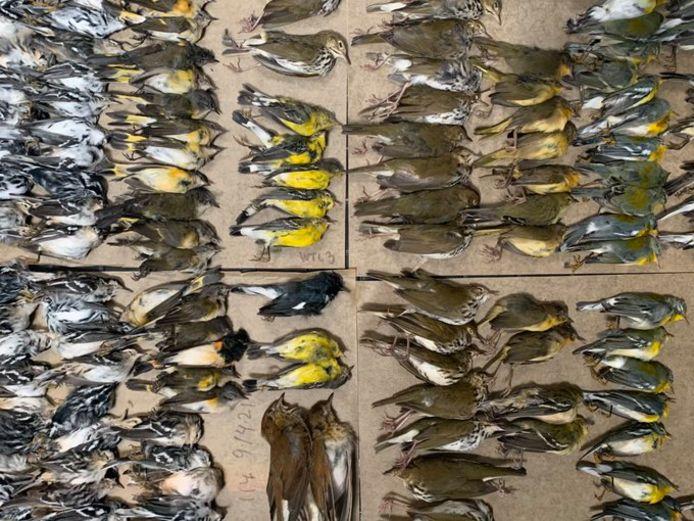 Honderden migrerende vogels zijn de afgelopen dagen gestorven na crashes tegen wolkenkrabbers in New York City.