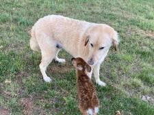 Cet adorable chien sauve un faon de la noyade et le protège en attendant sa mère