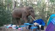 Olifant vertrappelt tenten van kampeerders. Dan gaat hij nog lopen met hun eten ook