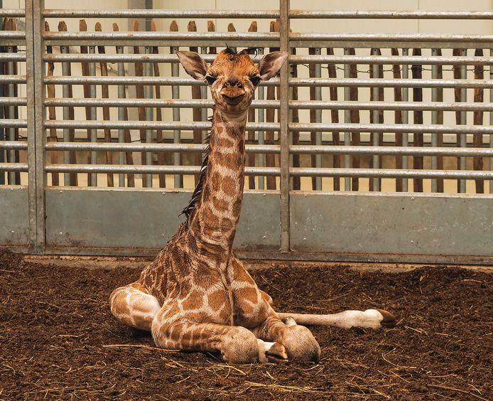 In Safaripark Beekse Bergen is deze week een Nubische giraffe geboren.