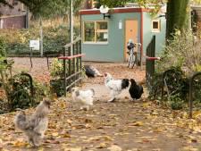 Rechter is overtuigd: Deventer oehoeman wilde kip echt terugbrengen naar Vogeleiland