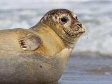 Nietsvermoedende zwemmer spot zeehond in Lek en schrikt zich een hoedje: 'Pas op, bijt zo je vinger eraf'