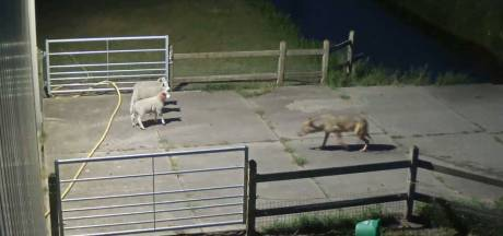 Duitsers schieten verkeerde wolf af, waarschijnlijk moeder van 'onze' Billy