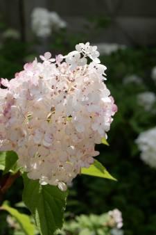 'Natte zomer toont verschil tussen weersbestendige struiken en slappelingen'