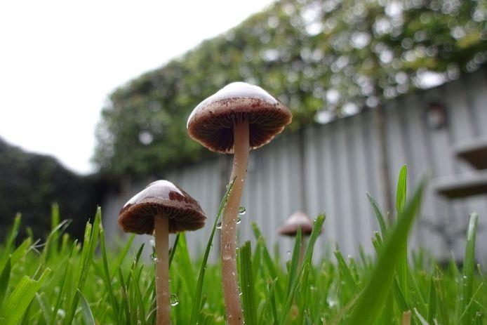 Ook gewoon in eigen tuin zijn er genoeg paddenstoelen te vinden. Kijk maar naar deze hoedjes op stelen, op de foto gezet door Anja Bastiaansen uit Made.