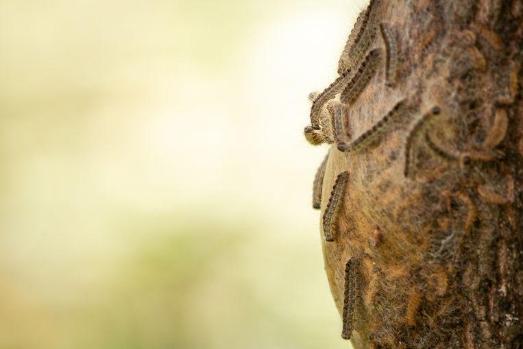 Eichenprozessionsspinner Beeld Getty Images/iStockphoto