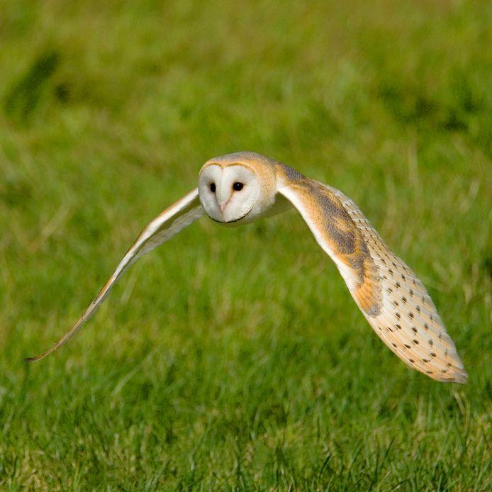 Een kerkuil jaagt in wegbermen en graslanden op muizen. Dat doet hij hoofdzakelijk 's nachts, maar door honger gedreven waagt de vogel soms ook overdag een poging.