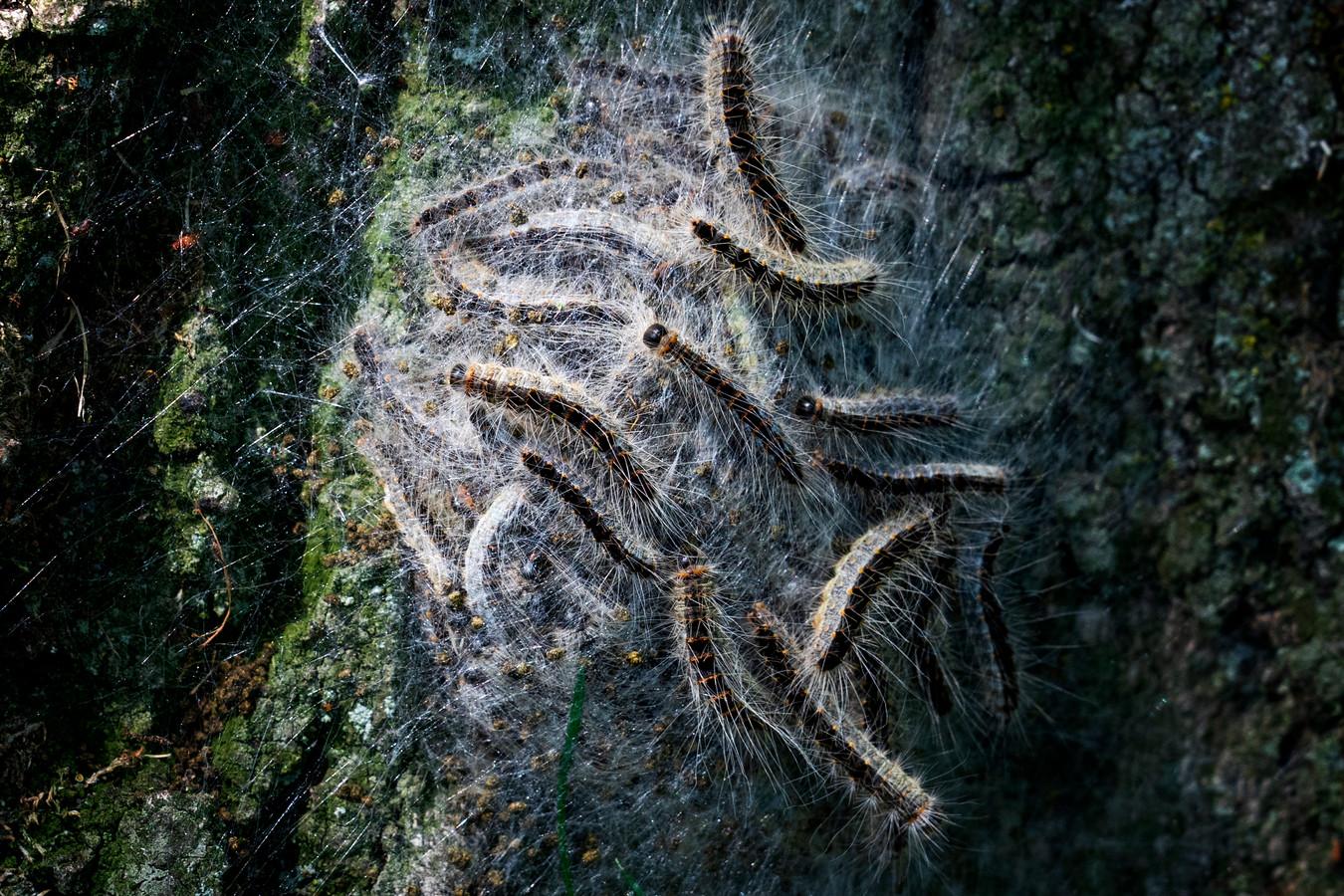 Er zaten vorige maand onder meer eikenprocessierupsen op de bomen in de Esdoornlaan in Maliskamp.