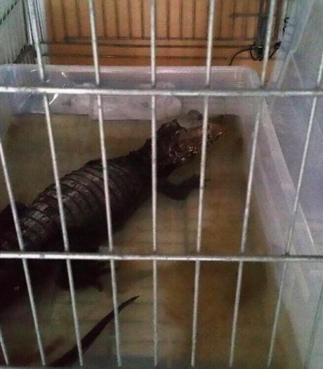 Apeldoornse alligator blijft, buren verhuizen