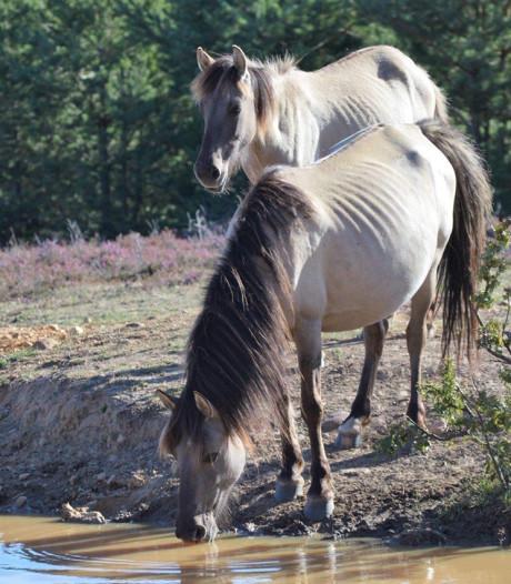 Magere Flevolandse konikpaarden in Spanje wellicht ziek van parasiet