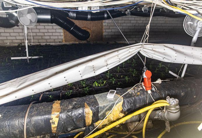 De plantjes waren zo'n twee weken oud. De politie vermoedt dat er veel langer wiet werd gekweekt.