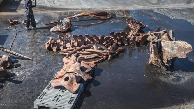 Na 30 jaar maakt UGent skelet van aangespoelde potvis Valentijn, pas in 2022 in Oostduinkerks Visserijmuseum te zien