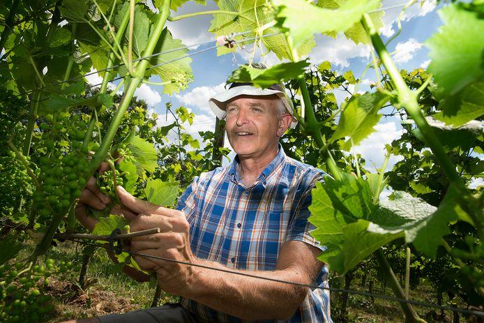 Job Huisman verwijdert bladeren van de wijnstokken in zijn wijngaard. ,,Als er te veel blad aan de wijnstokken zit, krijgen de druiven niet genoeg zon.''