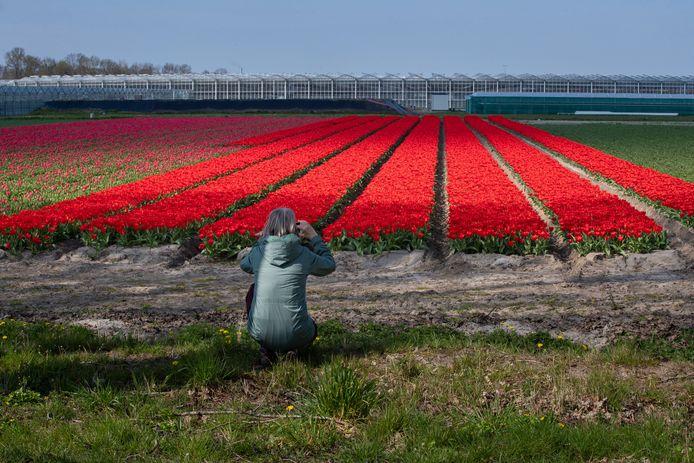Een bewonderaar van een tulpenveld aan de Zwartemeerweg bij Ens, voorjaar 2020.