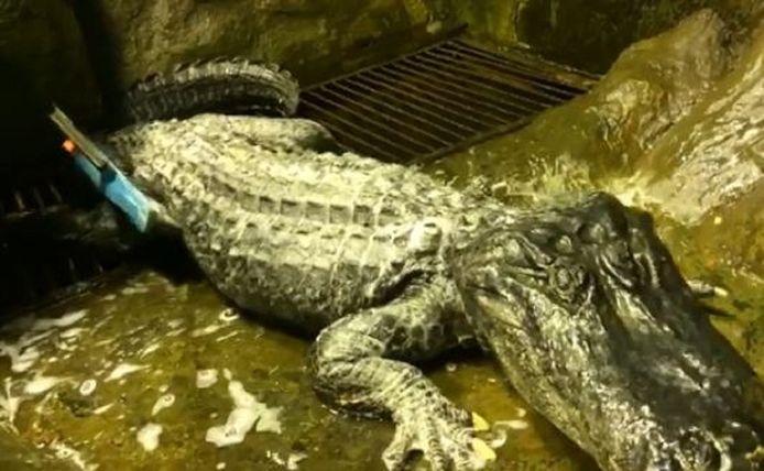 De 3,50 meter lange alligator.