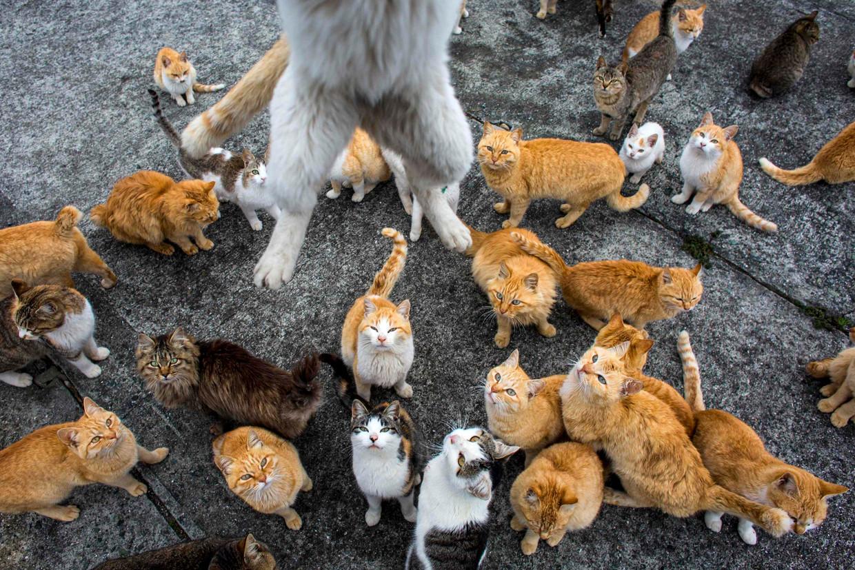 Katten op Aoshima, één van de 18 Japanse katteneilanden. Beeld REUTERS