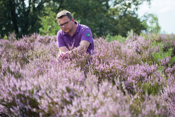 Boswachter Kees Jan Westra staat tussen de toch bloeiende heide op de Sallandse Heuvelrug.