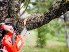 Gemeente Goirle weigert kapvergunning voor lindeboom aan Tilburgseweg