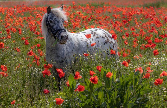 Klaprozenveld in olst wordt dankbaar gebruikt, bijvoorbeeld voor foto's van appalooza Roza.