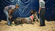 Al veertig tips over paardenbeul