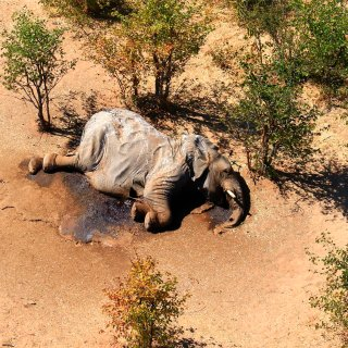 olifantensterfte-in-botswana-is-nog-steeds-een-raadsel