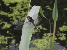 Zeldzame libellen gespot in het Reijerpark in Ridderkerk