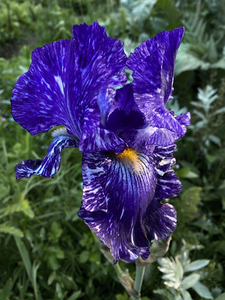Iris germanica 'Batik'.  Beeld Elspeth Diederix