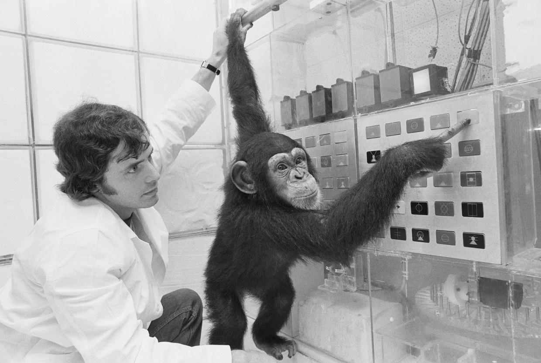 Lana, de eerste chimpansee die werd gebruikt in onderzoek naar de taal van dieren.  Beeld Bettmann Archive