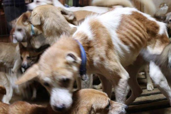 De drie mensen die in het huis woonden, zeiden dat ze het zich niet konden veroorloven om de honden te laten steriliseren en castreren, dus kregen ze er steeds meer.