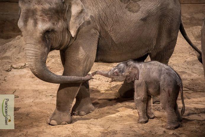 Suki (geliefde), Sumalee (beeldschone bloem) of Sawadee (goeiedag): welke naam moet het olifantje volgens jou krijgen?
