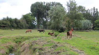 Paard verstrikt in prikkeldraad
