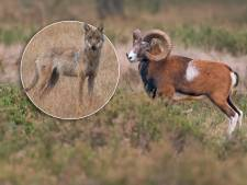 De Hoge Veluwe wil moeflons tegen wolf beschermen door ze naar buitenland te evacueren