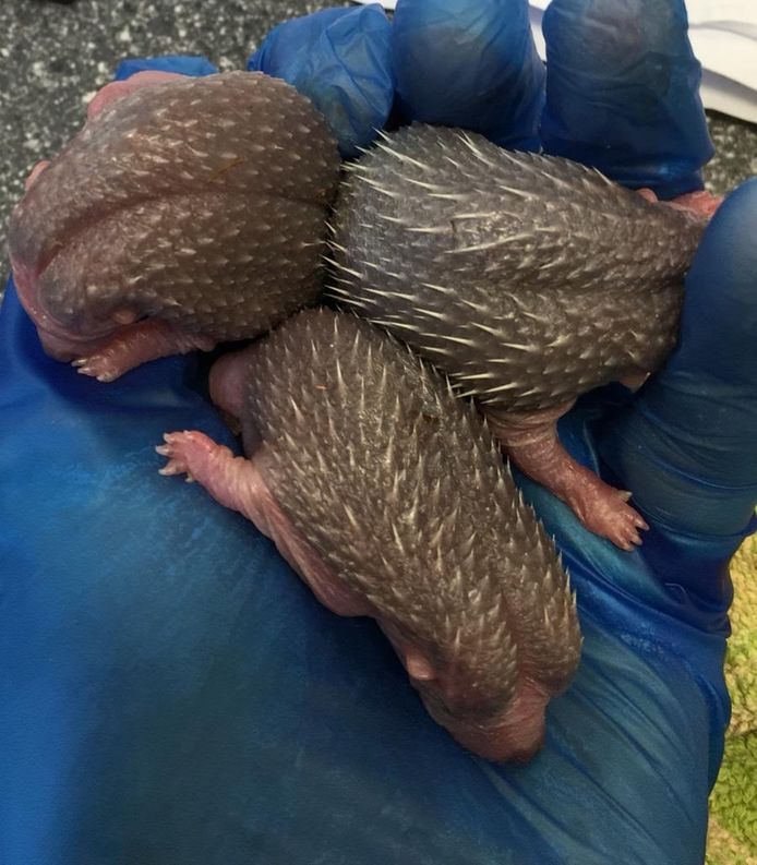 Pasgeboren egeltjes in de opvang.