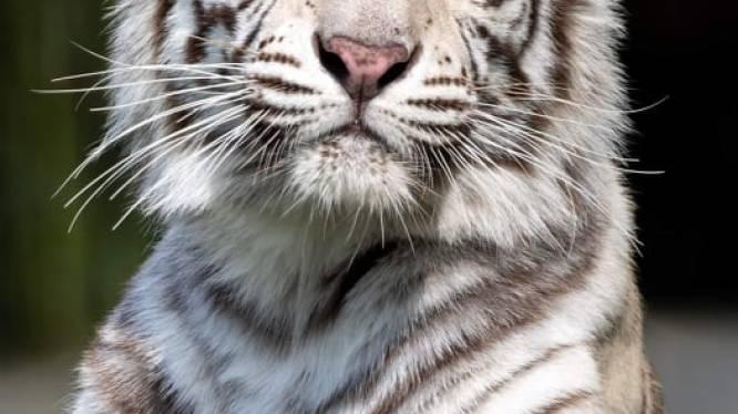 """Half jaar na tijger Paka verliest Pakawi Park nu ook diens zus Awi: """"Door een gerichte beet van mannetje Waka was Awi op slag dood"""""""