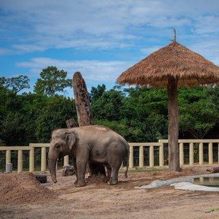 'De eenzaamste olifant ter wereld' is in Cambodja verlost van de spijkerstokken