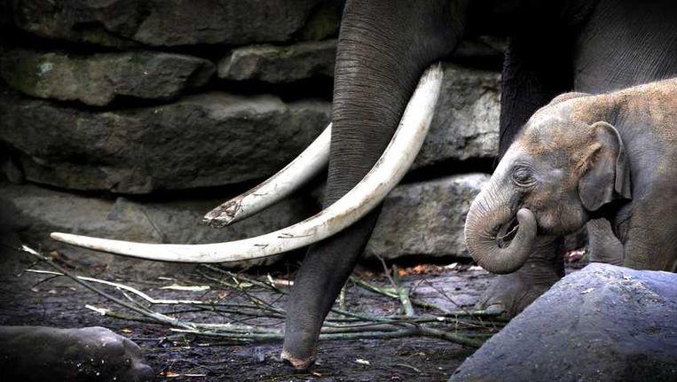 Olifanten in het Dierenpark Emmen Beeld anp